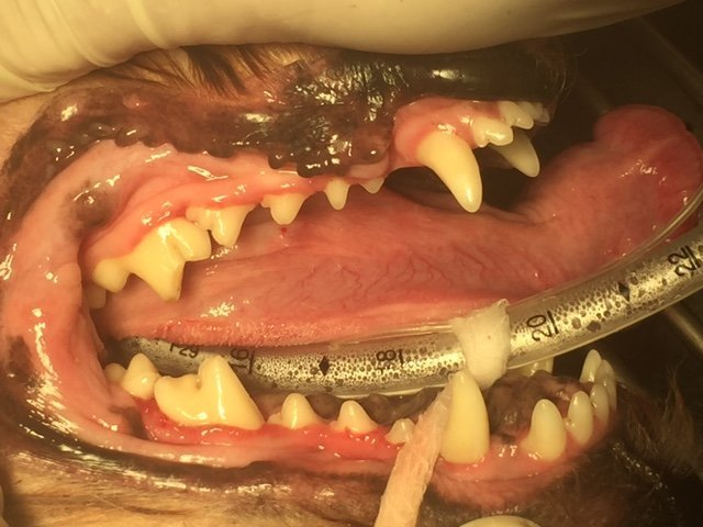 A dog after having their teeth cleaned