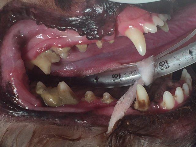 A dog before having their teeth cleaned