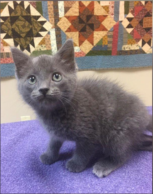 A little grey kitten sitting on the table looking at the camera