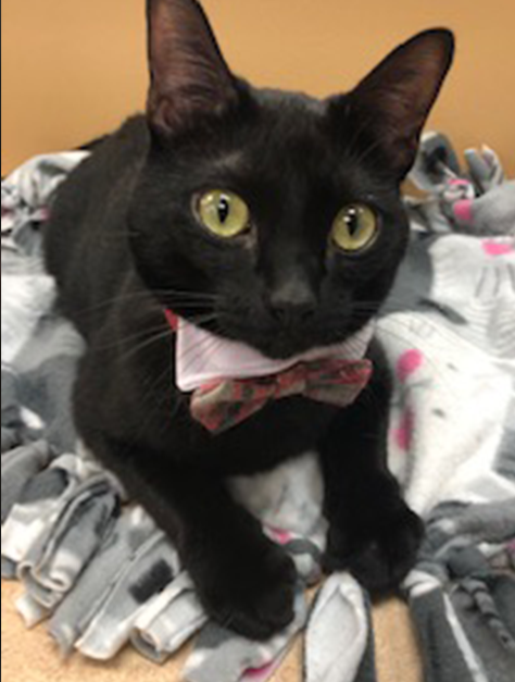 An all black cat with yellow eyes wearing a plaid bow tie